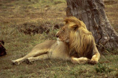 Un leu umblă liber în zona Izvoare – Piatra Neamţ? De ce tac autorităţile? (video)