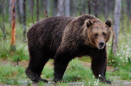 Ursul a fost văzut în seara asta în zona Bâtca Doamnei – Piatra Neamț! Avertisment pentru bicicliști sau cei care fac jogging!