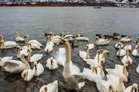 Două cazuri de gripă aviară la lebede au fost confirmate în Neamţ! Zonele cu risc sunt pe Bâtca Doamnei şi râul Bistriţa!