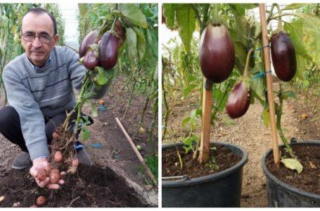 Nemțeanul care a obținut planta care face și vinete și cartofi