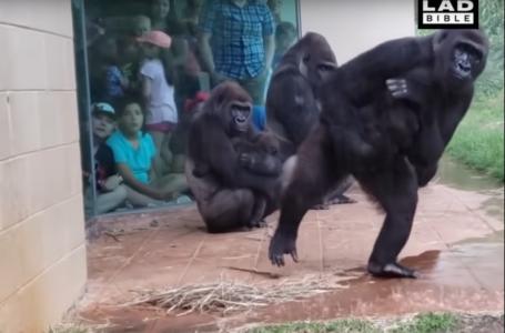 Reacții amuzante ale unor gorile cu pui în fața ploii torențiale (video)