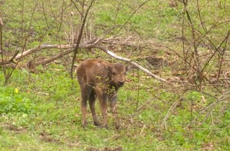 Video emoționat cu un pui de zimbru abia fătat în Parcul Vânători Neamț