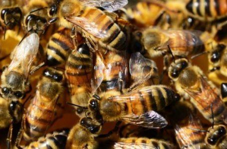 Scene de groază în Ceahlău! Femeie atacată de un roi de albine sălbatice!