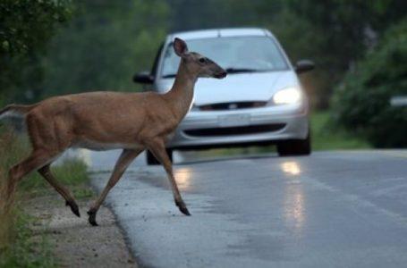 Căprioară lovită de microbuz la Borca! Animalele ajung în stradă după ce le-au fost tăiate pădurile!