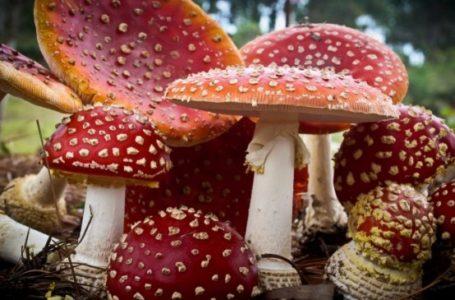 Şapte persoane din Vânători-Neamţ s-au intoxicat cu ciuperci otrăvitoare