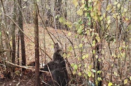 Alertă la Bicazu Ardelean! Pui de urs, blocat într-un gard de sârmă!