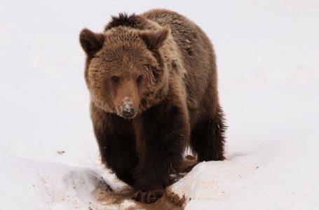 Iată ce face ursoaica Anca, după 2 ani după ce a fost luată de la Zoo Piatra-Neamț