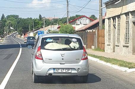 Ce animal ciudat a transportat un șofer din Neamț pe bancheta din spate a unui Logan