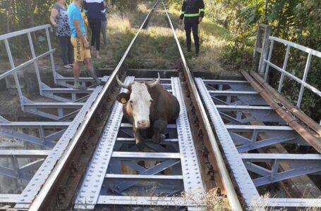 O vacă a rămas blocată pe calea ferată din Piatra-Neamț!