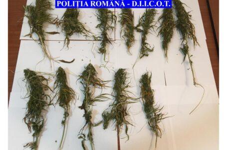 Percheziții la traficanți de droguri în Piatra-Neamț și Ștefan cel Mare
