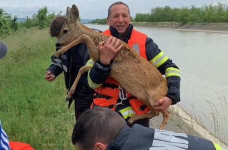 O căprioară căzută în râul Bistrița, salvată de pompieri (foto-video)
