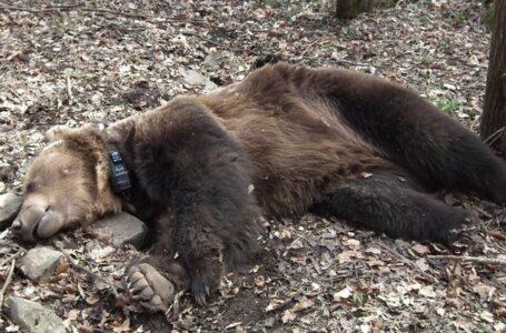 Cadavrul tranşat al unui urs a fost găsit sub un pod, la Tarcău